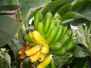 Véritables bananes islandaises (1)