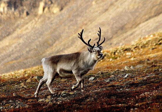 Couillu le caribou (1)