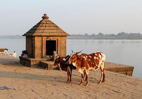 Vaches sacrées (2)